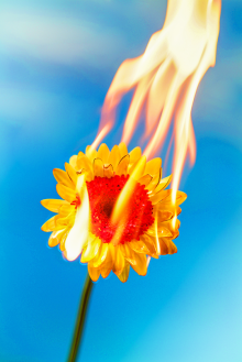 girasol de fuego